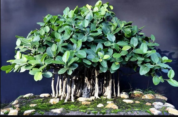 Grow Your Own Banyan Tree Bonsai Kit Pot Included Etsy