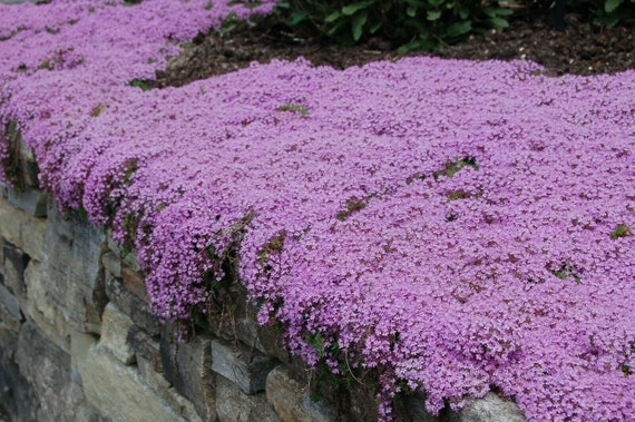 5000 Creeping Thyme Seeds For Groundcover