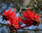 Erythrina lysistemon - Beautiful Lucky Bean Tree - Common Coral Tree - 10 Seeds