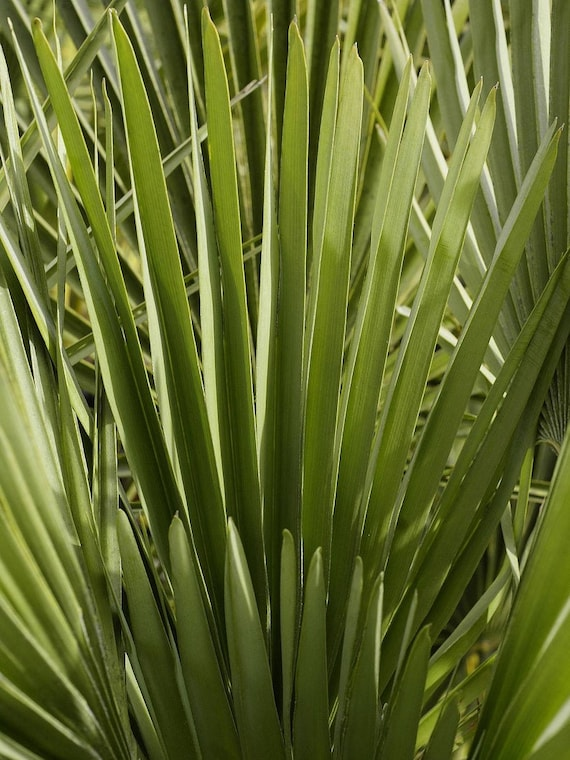 cerifera Blue Mediterranean Fan Palm 5 Seeds Chamaerops humilis var