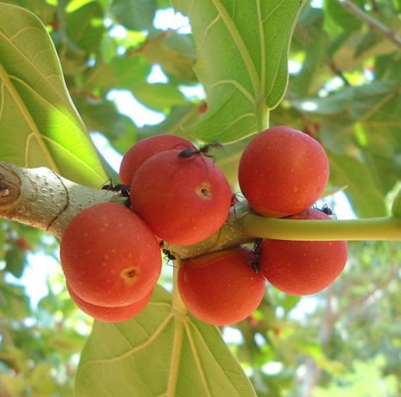 Ficus habrophylla 10 Seeds New Caledonia Fig Red Fig Gof Fig