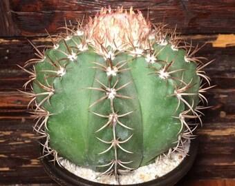 Melocactus-turcos Cap 25 Semillas De Cactus