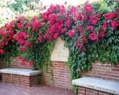 Red Climbing Rose Bush 20 or 100 Seeds Rare-Free Shipping-USA Seller