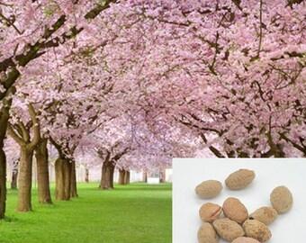 Cherry Blossom Seeds Etsy