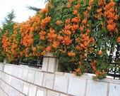 Orange Climbing Rose Bush 20 or 100 Seeds Rare-Free Shipping-USA Seller