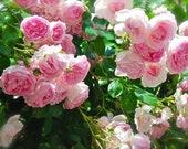 Pink Climbing Rose Bush 20 or 100 Seeds Rare-Free Shipping-USA Seller