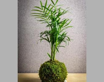 Kokedama plant Dwarf palm