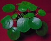 Pilea peperomioides quot Chinese Money Plant quot Peperomia Plant 4 quot Pot Terrarium