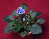 Honey Blue Ace (Please note that African Violets may or may not be in bloom)
