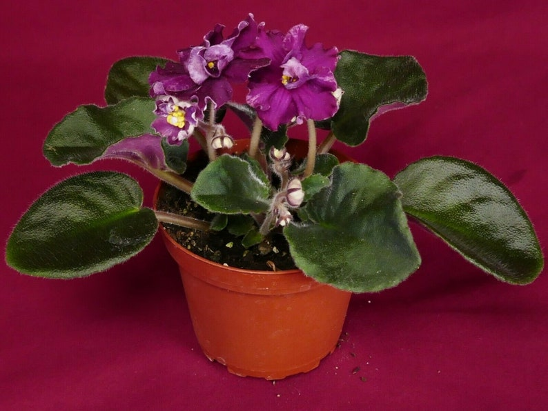 African violet Wrangler/'s Dixie Celebration live plant in pot