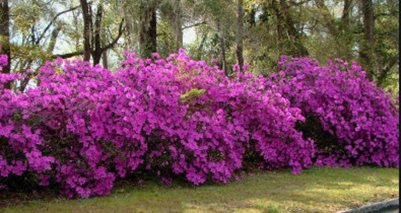 Azalea Formosa Live Plant 4 Inch Pot Evergreen Fuchsia Etsy