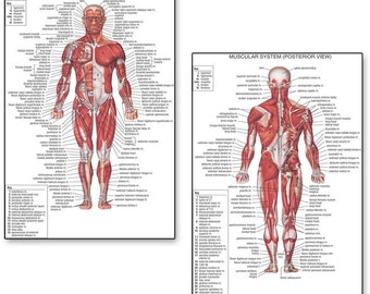 ML31 Vintage Medical Anatomical Human Body Muscles Back Vesalius Poster A2//A3//A4