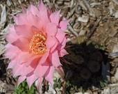 Echinobivia echinopsis hybrid quot Rainbow Bursts quot - Live Cactus growing in 4 quot pots