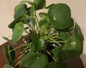 Pilea Peperomioides - Chinese Money Plant - Pancake - UFO - Pepperoni - Plant - in 6 quot inches pot