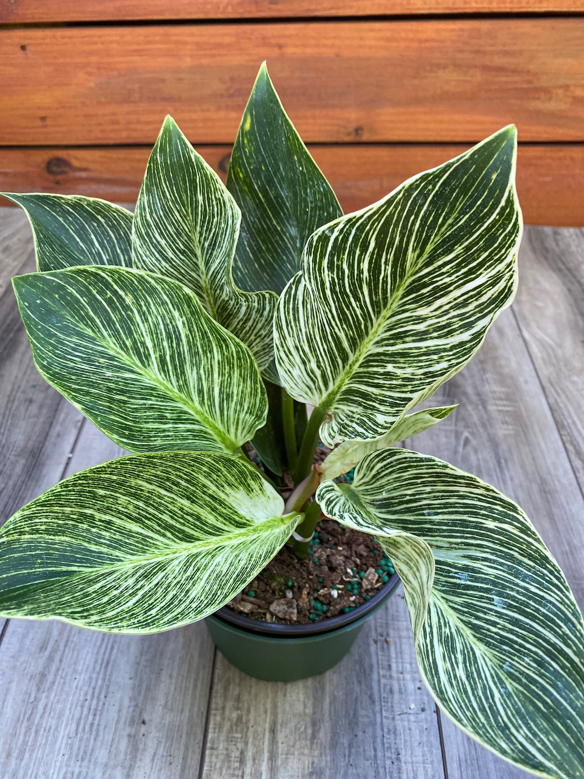 Philodendron 'Birkin'  in 6 inch pot image 0