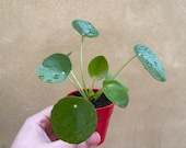 Pilea Peperomoides plant in a tiny 6cm pot - Chinese money plant - red ceramic pot is not included