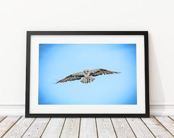 Osprey Hunting Art Print - Interior Design - Wildlife Photography - Decor