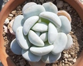Snow Lotus, 20 Seeds, Echeveria laui, Succulent Seeds, All-year Seed