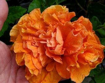 """TROPICAL JANE COWL HIBISCUS  LIVE PLANT 10/"""" TALL GALLON SIZE"""