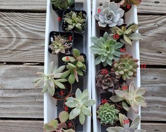 Assorted succulents, succulent plants, 2 inch succulent, live plants, house plants, houseplants, echeveria, sedum