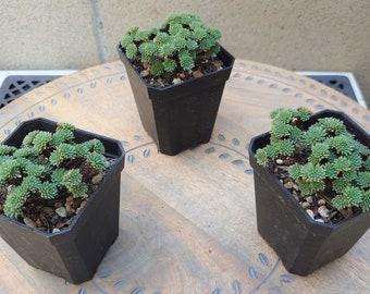 Sedum Multiceps, Miniature Joshua Tree, Baby Joshua Tree, Pigmy Joshua tree