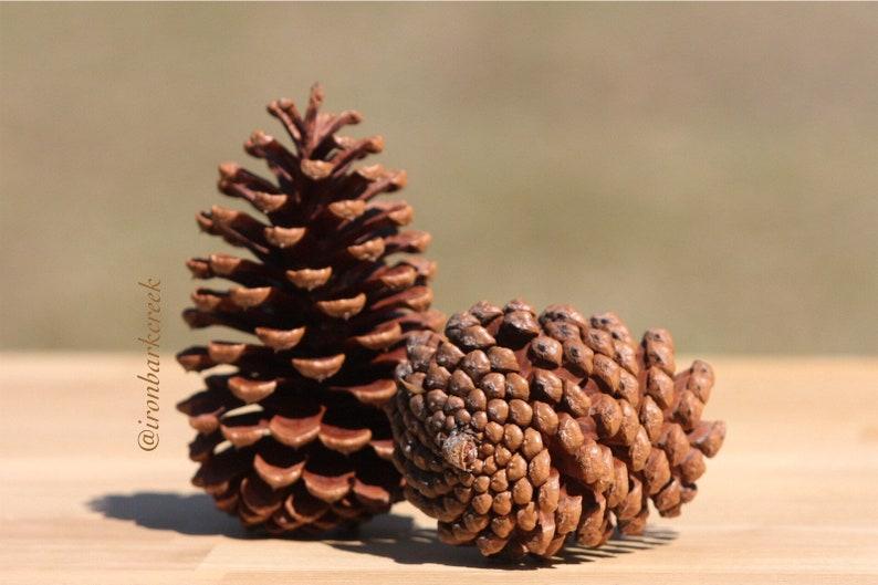 Pine Cones 10 large pinecones craft art rustic weddings image 0