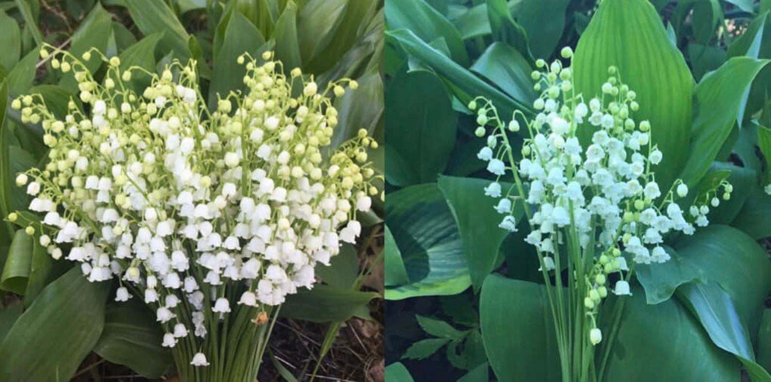 Lily of the valley bare root plants