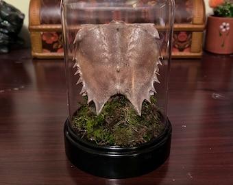 Horseshoe crab terrarium/death terrarium/skulls/ bones/ curiosity items/ horseshoe crab skeleton/ nature/ small terrariums/moss/gothic decor