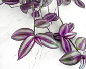 Quality Rooted Wandering Jew Plant, Tradescantia zebrina. Rooted House Plants. Wandering Jew Plant Live House Plant