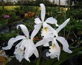 Cattleya maxima albescens Koningen Sylva SM DOG