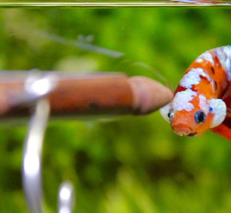 Betta Fish Scoop VERSION 2 Betta Fish Nest Betta Scoop Betta Nest Betta Fish Care Betta Fish Accessories