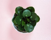 2 Pilea Peperomioides - Chinese Money Plant