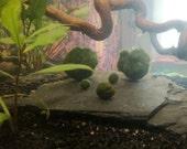 Marimo Balls - Cute seaweed balls, the perfect pet Japanese Lucky Charms - Aquarium Plant Moss Ballalge