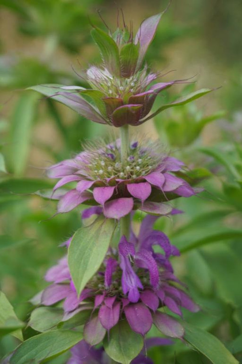 Monarda hybrida Lambada 300 seeds