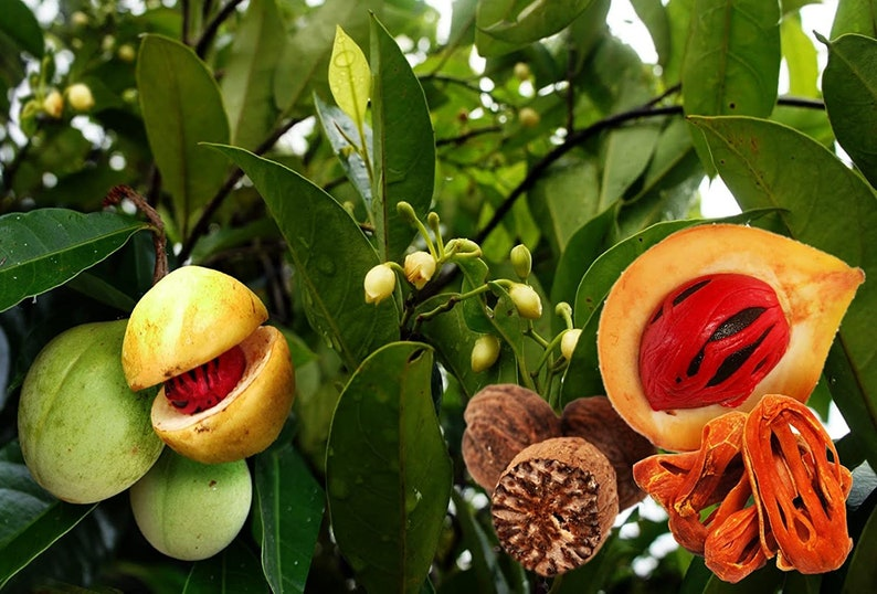 Myristica fragrans Nutmeg Tree 10 seeds