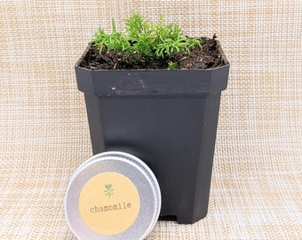Heirloom Non-GMO Organic Basil Seeds Healthy Kitchen Herb Seeds, Grow Your Own Herb Garden, Hobbies, Fall, Autumn Activites