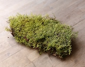 Live Flat Carpet Sheet Moss Suitable for Terrarium