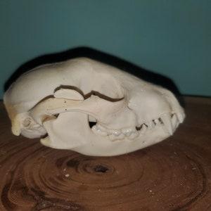 Quality #2 Raccoon Skull Procyon lotor Damaged Cheap