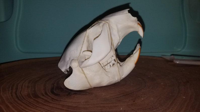 Damaged Castor canadensis Cheap Quality #2 Beaver Skull