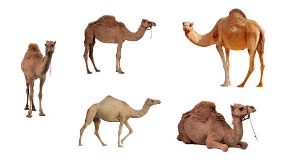Camel Clipart, Transparent PNG Clipart Images Free Download - ClipartMax