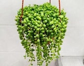100pcs String Of Pearls Seeds Succulents Hanging Basket Senecio Rowleyanu RARE Beautiful Hanging Planter Terrarium Succulent Plants