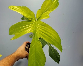 XXL Philodendron Florida Ghost Mint. USA seller.  P107