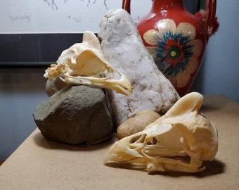 Domestic Guinea Skull