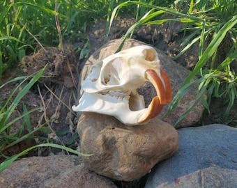 Nutria Skull