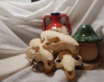 Box of Beaver Skulls