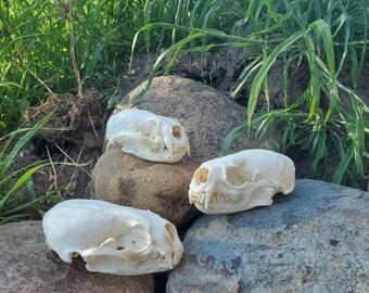 Minnesota River Otter Skull