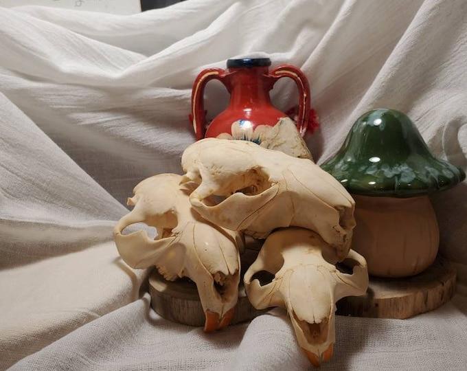 Featured listing image: Box of Beaver Skulls