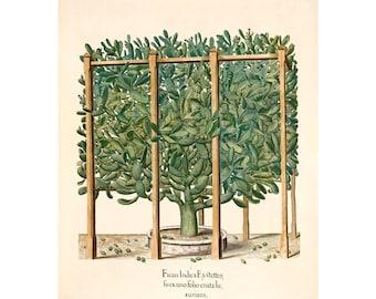 Antique Wood Squill Hepatica Giclee Print Hortus Eystettensis by Basilius Besler A4A3 FramedUnframed Spring Crocus