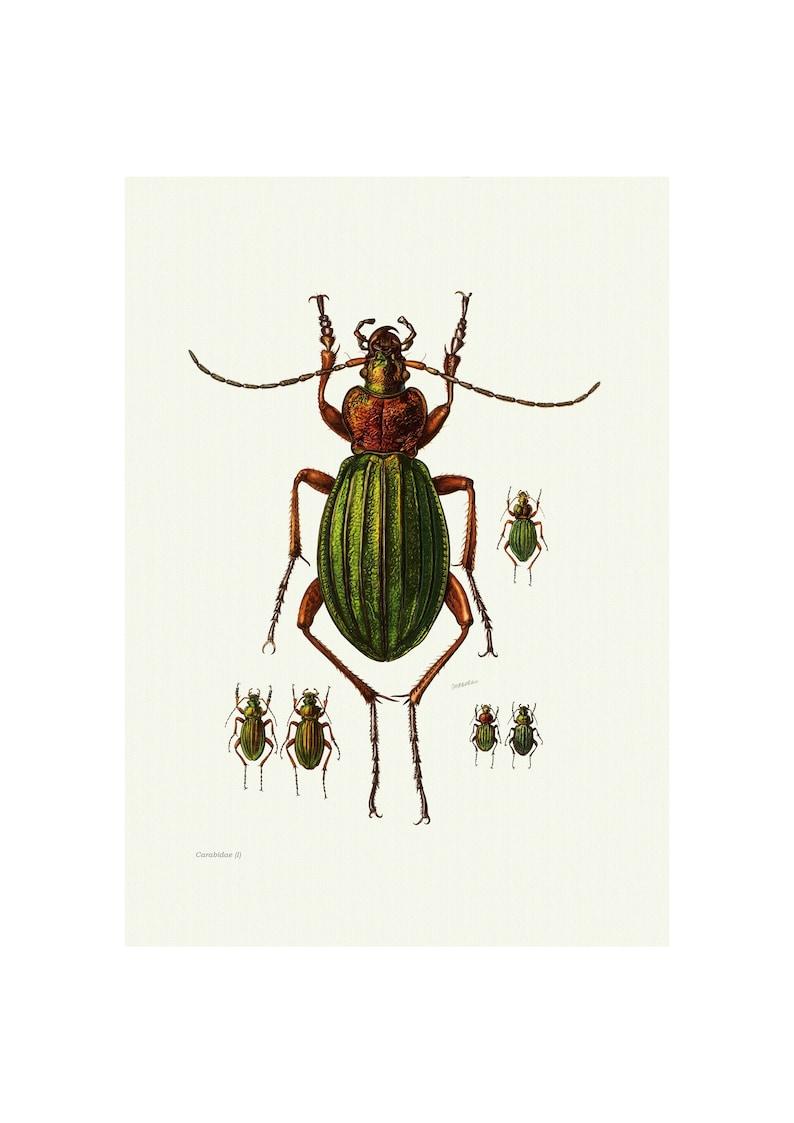 Fine Art Print A4A3 FramedUnframed Ground Beetle Vintage Lithograph
