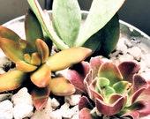 4.5 quot Live Organic Succulent Arrangement in Metal Bucket Farmhouse Rustic Living Plant Gift Pail Favor